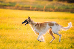 Russian Dog, Borzoi Running Summer Sunset Sunrise Meadow Or Field. Russian Dog, Borzoi Running In Summer Sunset Sunrise Meadow Or Field Royalty Free Stock Photos