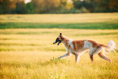 Russian Dog, Borzoi Running In Summer Sunset Sunrise Meadow Stock Photography
