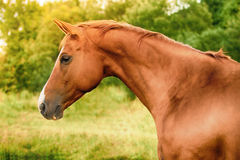 Russian Don horse Royalty Free Stock Photo
