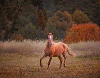 The Russian Don horse. Running on golden forest background Stock Photo