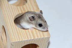 Russian dwarf Hamster Royalty Free Stock Photos