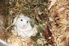 Russian dwarf hamster Stock Photo