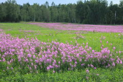 Russian field. Fireweed blooming in summer in Siberia Stock Photography