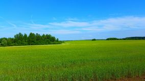Russian field. Field of rye in the Russian province Stock Photography
