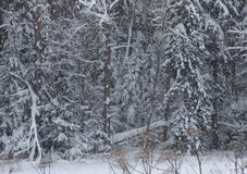 Russian forest. Winter forest in the Moscow country royalty free stock photos