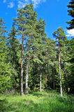 Russian forest. Edge of coniferous wood with high pines stock images
