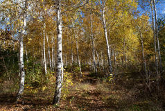 Russian forest Stock Images