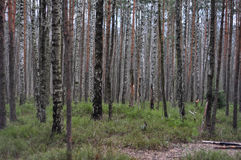 Russian forest Royalty Free Stock Photos