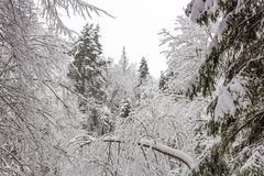 Russian forest in the frosty January day after the strongest snow blizzard stock photography