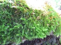 Russian forest. green moss. Russian forest. Village. Autumn. green. moss. macro Stock Photo