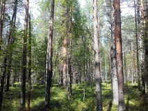 Russian forest. With a lot of trees - Pines Stock Images