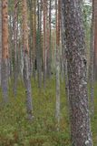 Russian forest. Pustoshkinsky p-HN obl.n Pskov Russia Stock Images