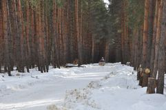 Russian forest in winter royalty free stock image
