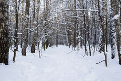Russian forrest in winter Stock Photo