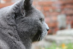 Russian grey cat is looking at something. What is the russian grey cat looking at? We will never know royalty free stock photography