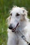 Russian greyhound dog. Head of russian greyhound dog Royalty Free Stock Photography