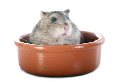 Russian hamster in bowl Royalty Free Stock Photo