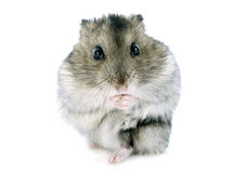 Russian hamster Royalty Free Stock Photography