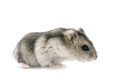 Russian hamster Royalty Free Stock Photos