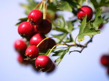 Russian Hawthorn. Red Russian hawthorn berries Stock Images