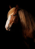 Russian heavy draught horse. Portrait of a palomino russian heavy draught horse Royalty Free Stock Images