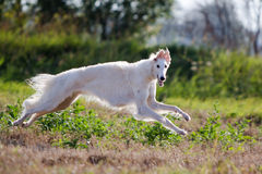 Russian hound. White russian hound dog run in field Royalty Free Stock Photography