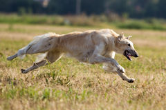 Russian hound dog. Run in field Royalty Free Stock Photos