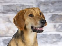 Russian hound dog portrait in a studio. royalty free stock image