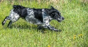 Russian hunting Spaniel running, frolicking on the green grass royalty free stock photo