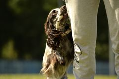 Russian hunting spaniel. Young energetic dog on a walk. Puppies education, cynology, intensive training of young dogs. Walking dog. S in nature royalty free stock photos