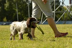 Russian hunting spaniel. Young energetic dog on a walk. Puppies education, cynology, intensive training of young dogs. Walking dog. S in nature stock photo