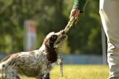Russian hunting spaniel. Young energetic dog on a walk. Puppies education, cynology, intensive training of young dogs. Walking dog. S in nature royalty free stock images