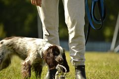 Russian hunting spaniel. Young energetic dog on a walk. Puppies education, cynology, intensive training of young dogs. Walking dog. S in nature royalty free stock image
