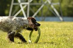Russian hunting spaniel. Young energetic dog on a walk. Puppies education, cynology, intensive training of young dogs. Walking dog. S in nature stock photos