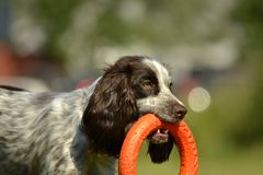 Russian hunting spaniel. Young energetic dog on a walk. Puppies education, cynology, intensive training of young dogs. Walking dog. Sunstroke, health of pets in royalty free stock images