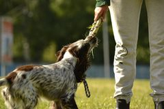 Russian hunting spaniel. Young energetic dog on a walk. Puppies education, cynology, intensive training of young dogs. Walking dog. S in nature stock image
