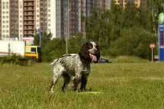 Russian hunting spaniel. Young energetic dog on a walk. Puppies education, cynology, intensive training of young dogs. Walking dog. Sunstroke, health of pets in stock photos