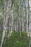 Russian landscape. viex of Summer Birch forest Stock Images
