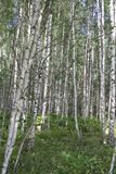 Russian landscape. viex of Summer Birch forest Stock Images