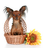 Russian long-haired toy terrier. Sitting in basket on a white background royalty free stock image