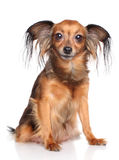 Russian long haired toy terrier dog. Russian long-haired toy terrier breed dog on white background Royalty Free Stock Images