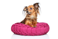 Russian long haired Toy Terrier Royalty Free Stock Photo