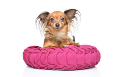 Russian long-haired Toy Terrier Stock Photography