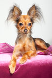 Russian long-haired toy terrier on pink pillow Stock Images