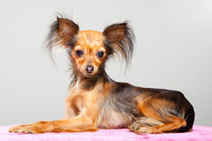 Russian long-haired toy terrier on pink pillow Royalty Free Stock Image