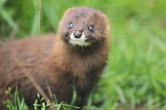 Russian Mink Stock Photography