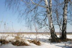 Russian nature. Birch Stock Photo