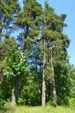 Russian nature - pine forest in summer Royalty Free Stock Photo