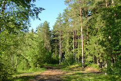 Russian nature - pine forest in summer Royalty Free Stock Photos