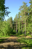 Russian nature - pine forest in summer Stock Photography